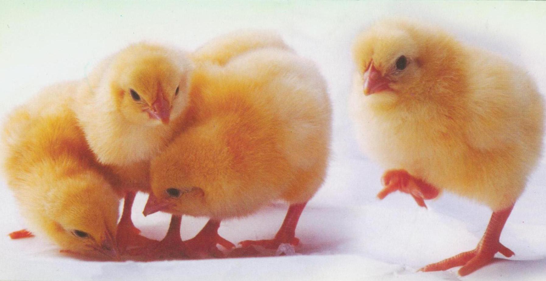 绿叶牌AA父母代种雏、商品代苗鸡